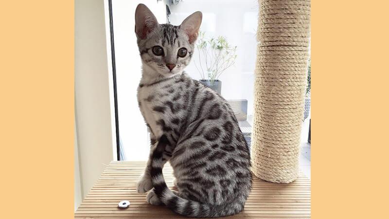 Jenis jenis kucing peliharaan - Bengal