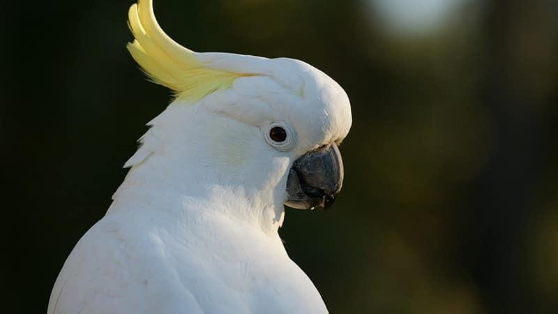 Macam Macam Burung Peliharaan - Burung Kakatua