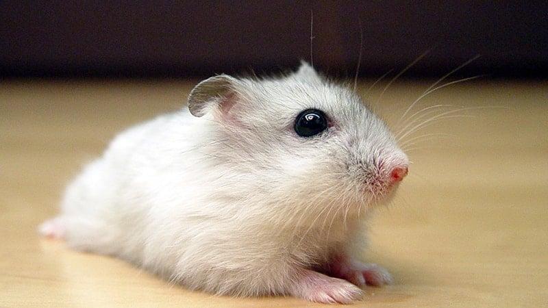 Jenis Jenis Hamster - Hamster Kerdil Putih Rusia