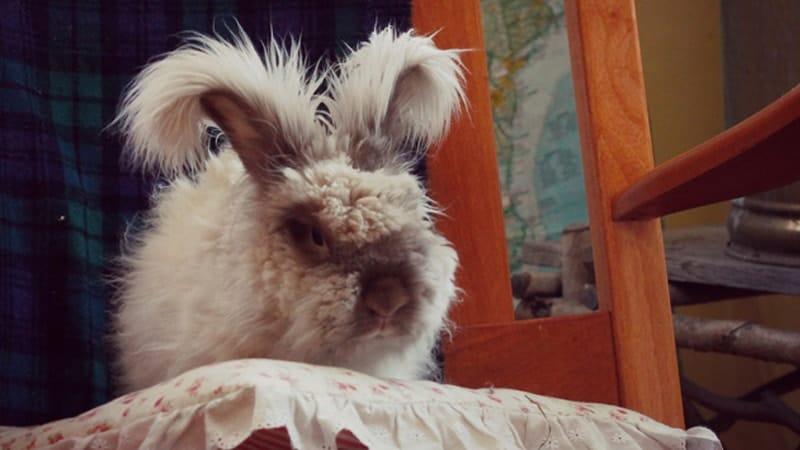 Jenis jenis kelinci - English angora