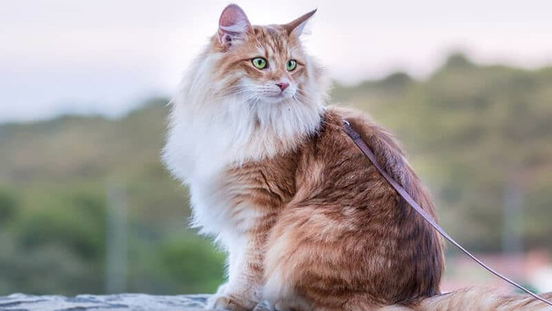 Jenis jenis kucing peliharaan - Norwegian forest