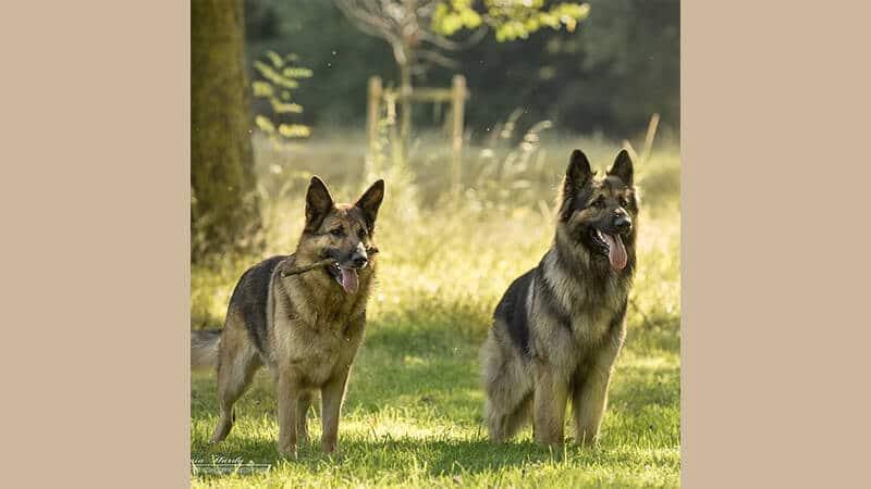 Jenis jenis anjing peliharaan - German sheperd