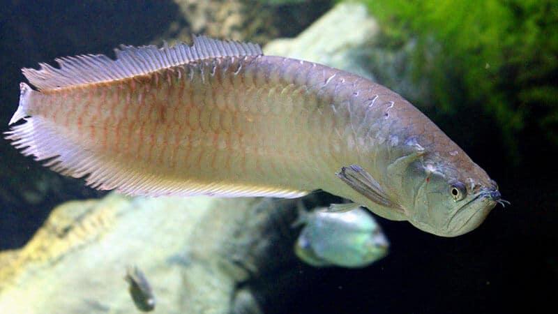 Jenis Jenis Ikan - Arwana