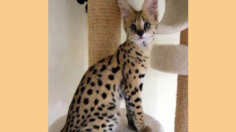 Jenis jenis kucing peliharaan - Ashera