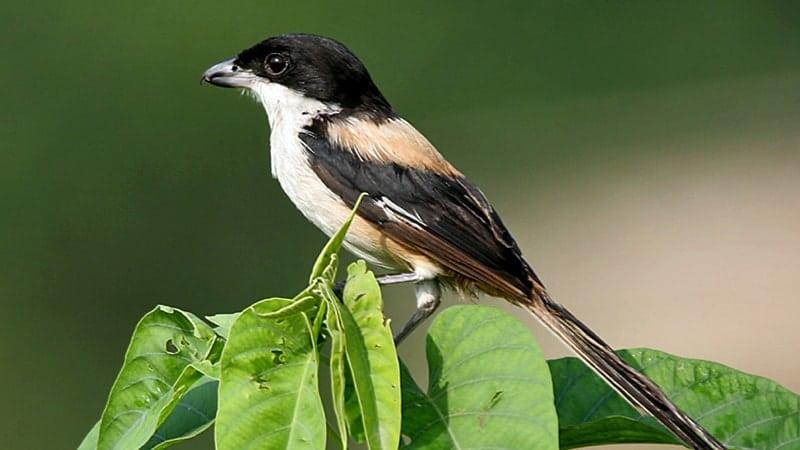 Macam Macam Burung Peliharaan - Burung Cendet