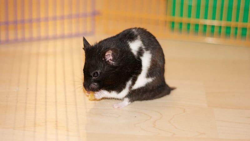 Jenis Jenis Hamster - Hamster Panda