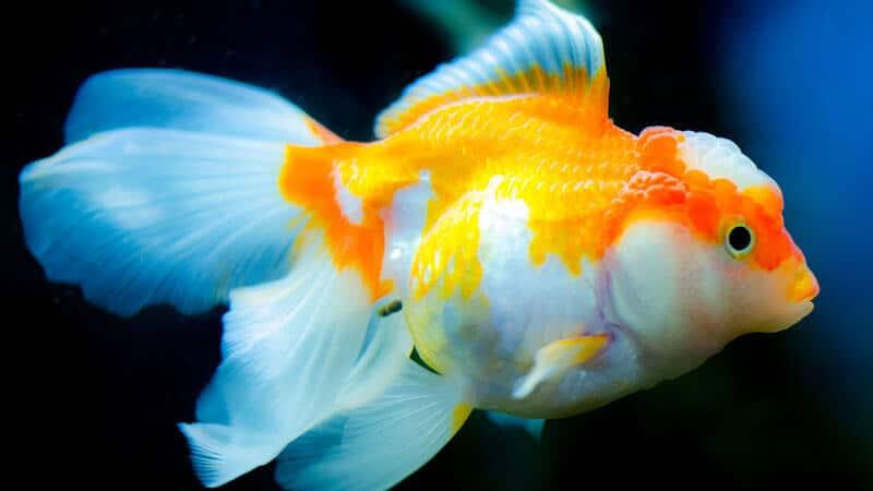 Jenis Jenis Ikan - Mas Koki