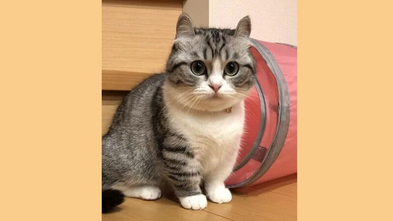 Jenis jenis kucing peliharaan - Munchkin