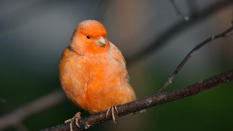 Macam Macam Burung Peliharaan - Burung Kenari