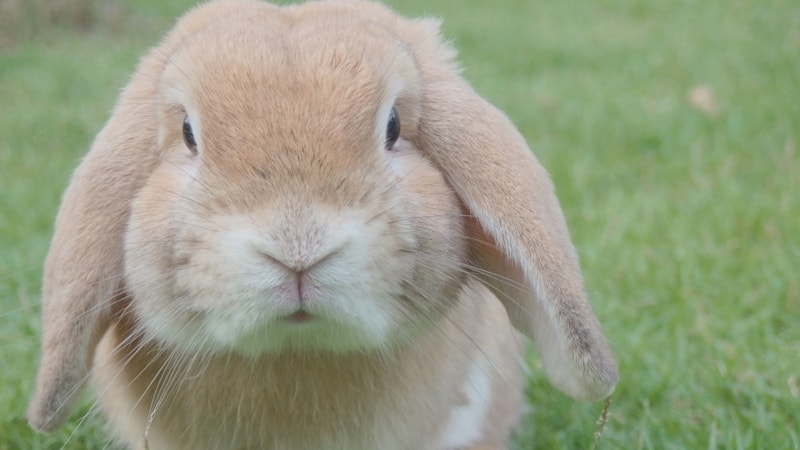 Jenis jenis kelinci - Holland lop