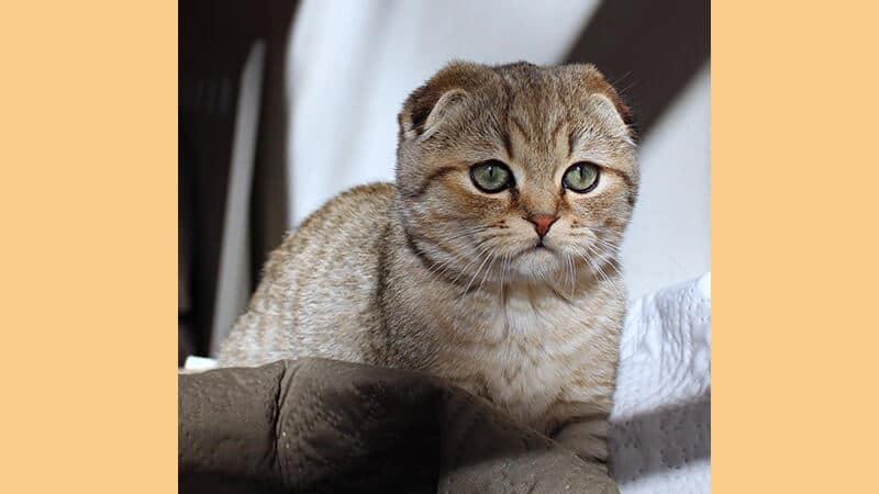 Jenis jenis kucing peliharaan - Scottish fold