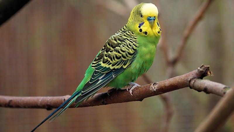 Macam Macam Burung Peliharaan - Burung Parkit