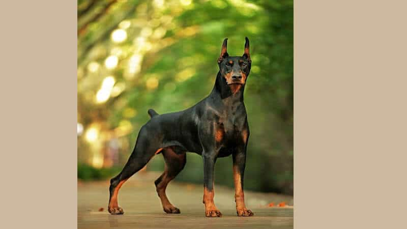 Jenis jenis anjing peliharaan - Doberman