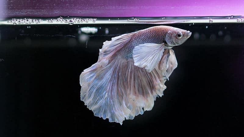 Jenis Jenis Ikan - Gupi