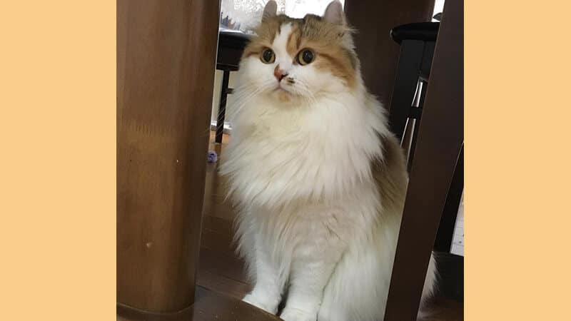 Jenis jenis kucing peliharaan - American curl