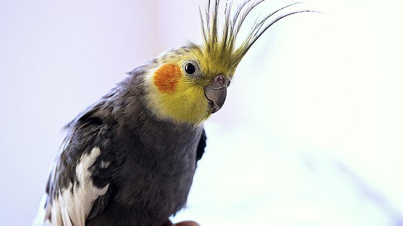 Macam Macam Burung Peliharaan - Burung Cockatiel