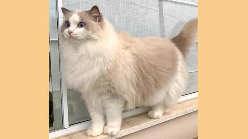 Jenis jenis kucing peliharaan - Ragdoll