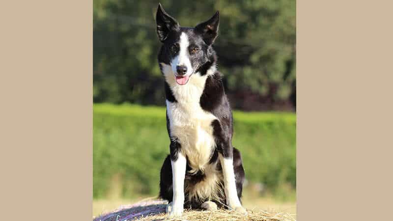Jenis jenis anjing peliharaan - Border collie