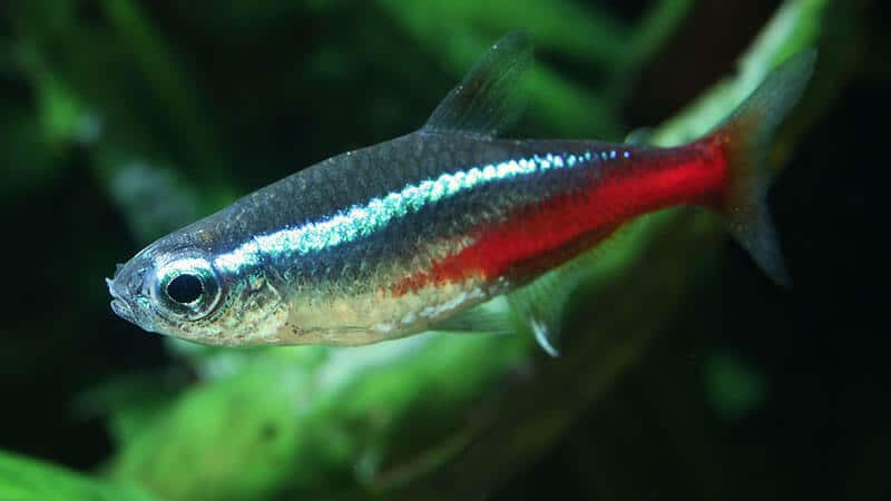 Jenis Jenis Ikan - Neon Tetra