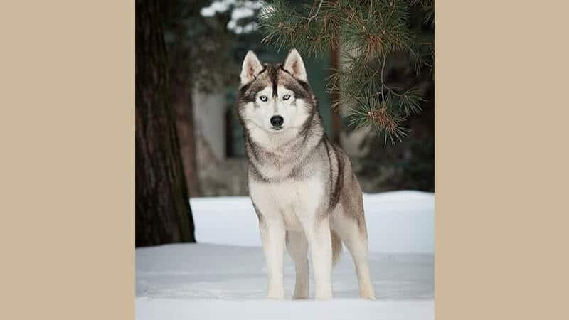 Jenis jenis anjing peliharaan - Siberian husky