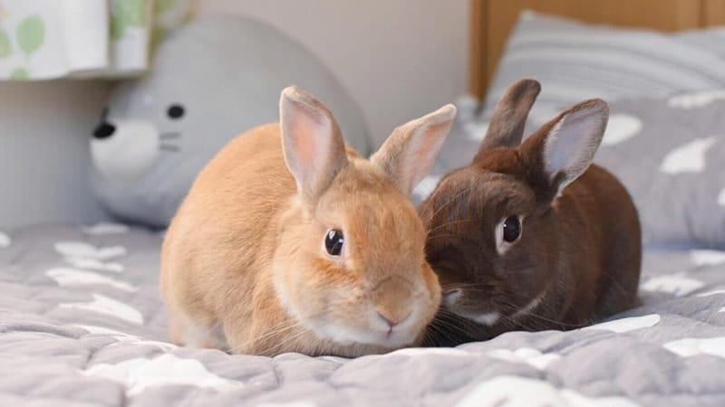 Jenis jenis kelinci - Netherland dwarf