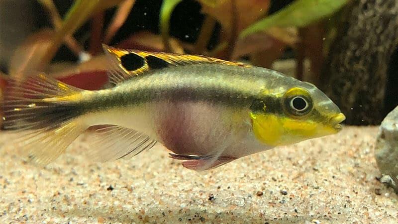 Jenis Jenis Ikan - Kribensis