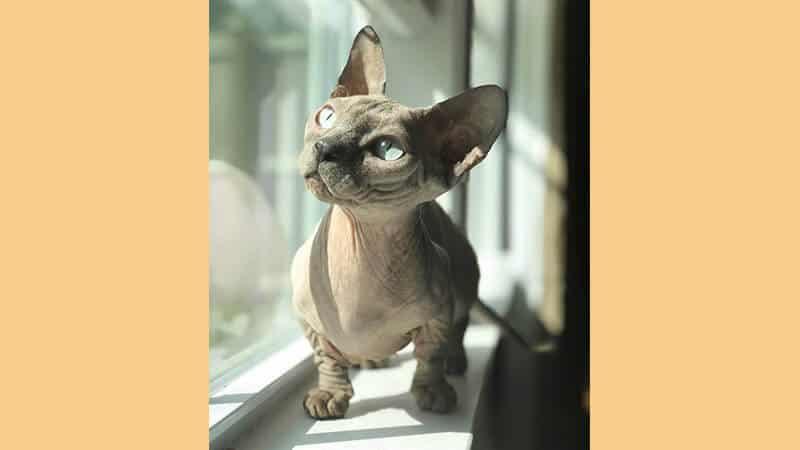 Jenis jenis kucing peliharaan - Bambino