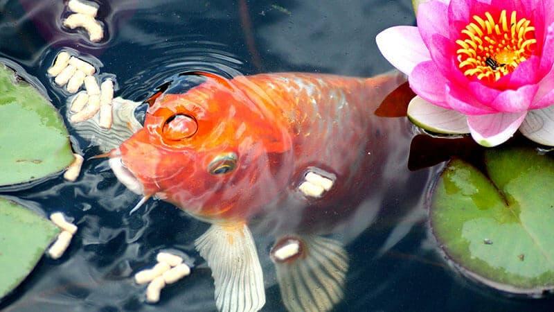 Jenis Jenis Ikan - Memberi Makan Ikan