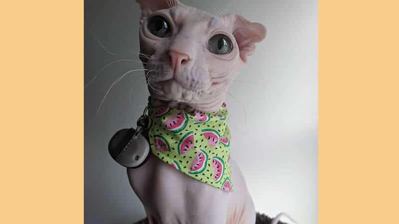 Jenis jenis kucing peliharaan - Ukranian Levskoy