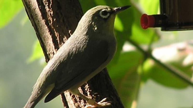 Macam Macam Burung Peliharaan - Burung Pleci