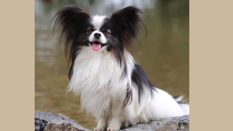 Jenis jenis anjing peliharaan - Papillon