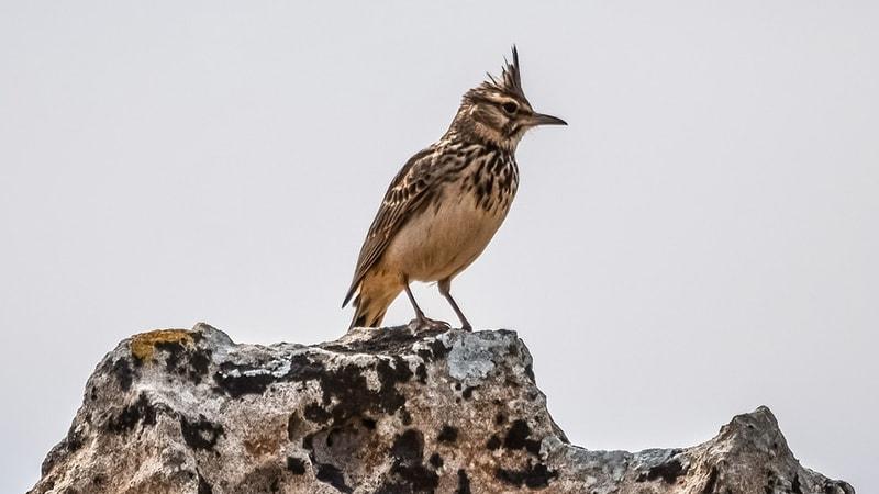 Macam Macam Burung Peliharaan - Burung Branjangan