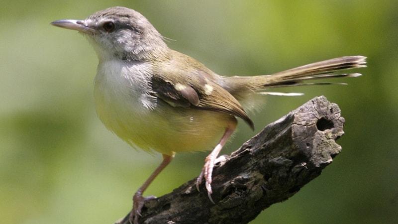 Macam Macam Burung Peliharaan - Burung Ciblek