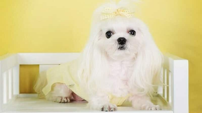 Jenis jenis anjing peliharaan - Maltese