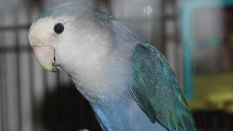 Macam Macam Burung Peliharaan - Burung Lovebird Parblue