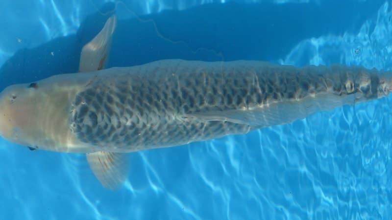 Jenis-Jenis Ikan Koi - Ikan Koi Asagi