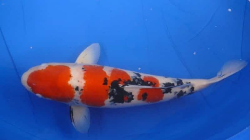 Jenis-Jenis Ikan Koi - Ikan Koi Sanke