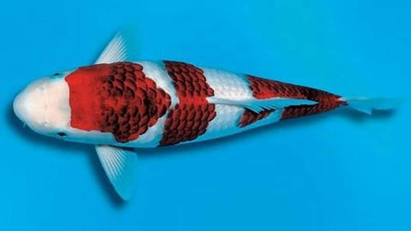 Jenis-Jenis Ikan Koi - Ikan Koi Koromo