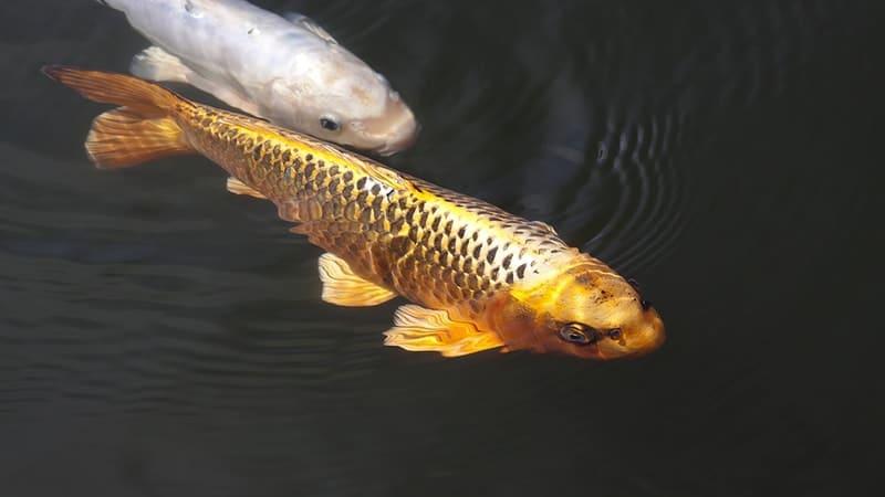 Jenis-Jenis Ikan Koi - Ikan Koi Hikarimono