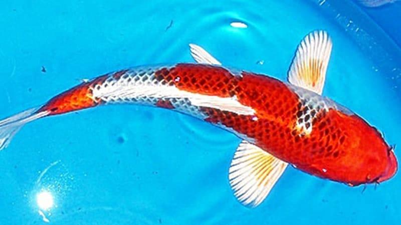 Jenis-Jenis Ikan Koi - Ikan Koi Hikarimoyo-mono