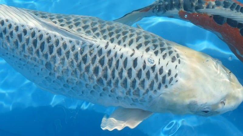 Jenis-Jenis Ikan Koi - Ikan Koi Kinginrin