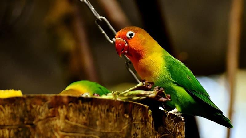 Cara Merawat Burung Lovebird - Lovebird Sedang Makan