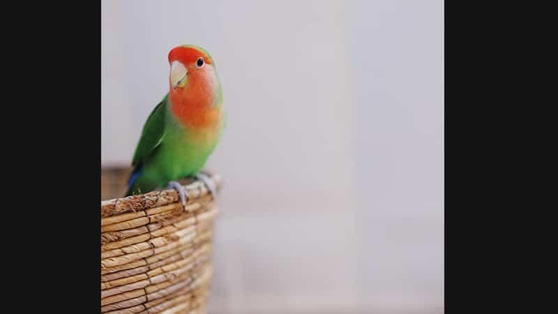 Cara Merawat Burung Lovebird - Lovebird Muka Salem