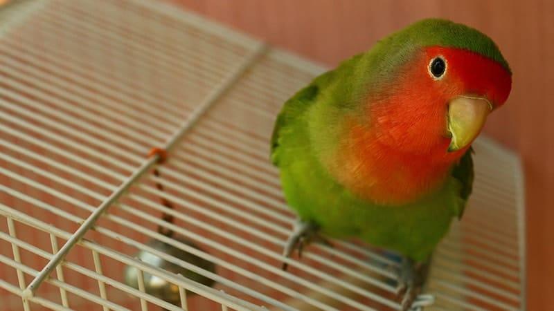 Cara Merawat Burung Lovebird - Lovebird di Atas Kandang