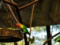 Cara Merawat Burung Lovebird - Tempat Makan Lovebird