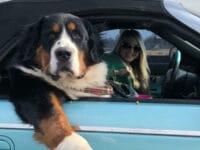 Foto anjing lucu banget - Berkendara bersama manusia
