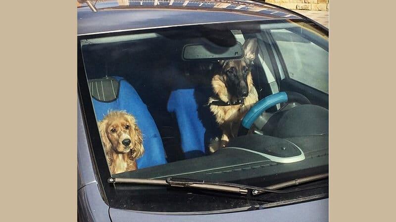 Foto anjing lucu banget - Hewan menyetir mobil