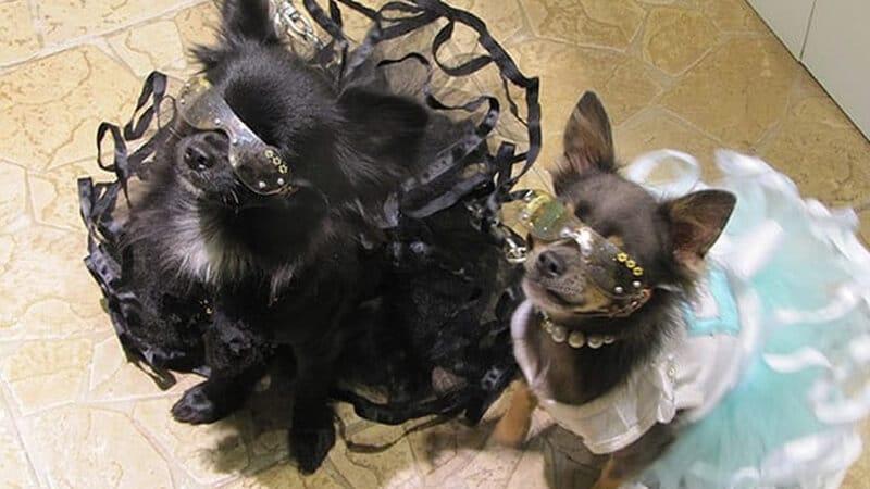 Foto anjing lucu banget - Chihuahua memakai gaun