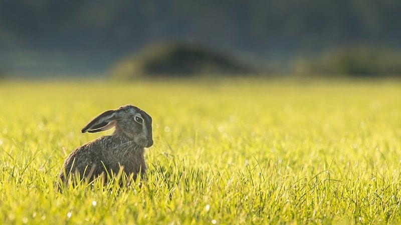 Cara Memelihara Kelinci Anggora - Kelinci di Padang Rumput