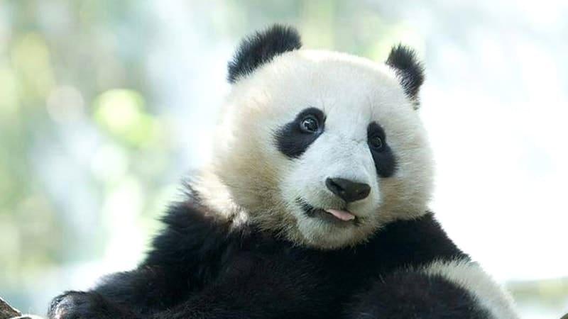 Gambar Panda Lucu dan Imut - Panda Menjulurkan Lidah